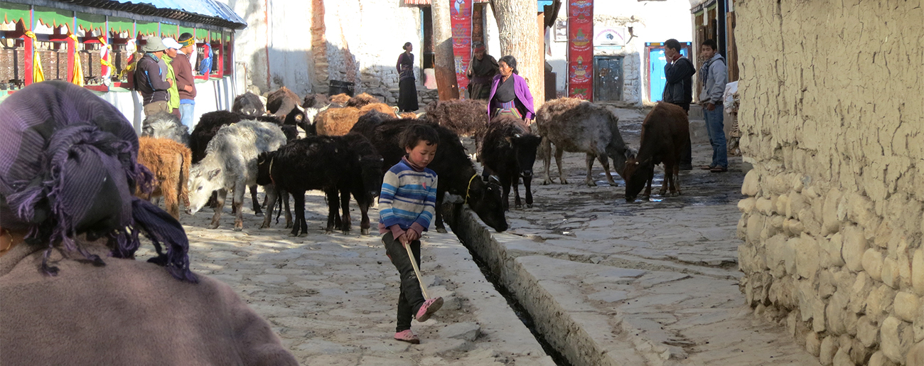 Cattle at Lo Manthang's main gate
