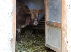 A cow looking through the ground floor door of a Lopa house